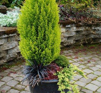 Juniperus horizontalis 'Mother Lode' 6