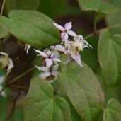 Epimedium 'Asiatic Hybrid'