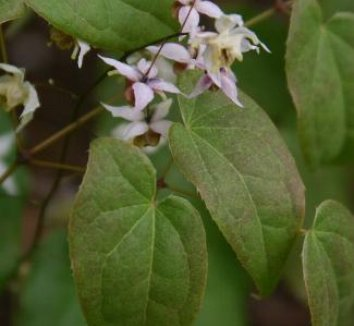 Epimedium [Asiatic hybrid] 4 flower
