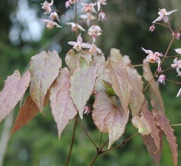 Epimedium [Asiatic hybrid] 1