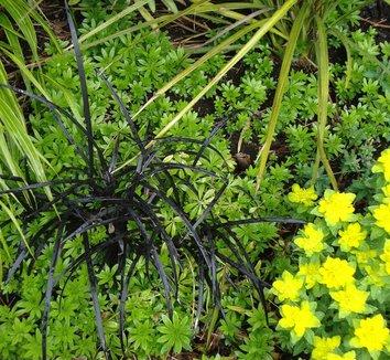 Ophiopogon planiscapus 'Nigrescens' 2 form