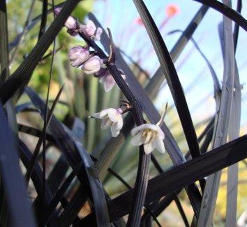 Ophiopogon planiscapus 'Nigrescens' 3 flower