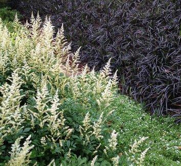 Ophiopogon planiscapus 'Nigrescens' 12 landscape