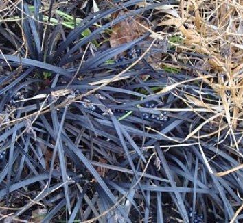 Ophiopogon planiscapus 'Nigrescens' 18