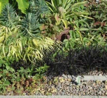 Ophiopogon planiscapus 'Nigrescens' 17 landscape