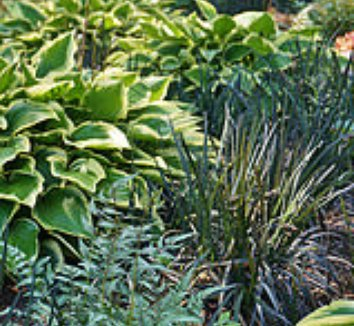 Ophiopogon planiscapus 'Nigrescens' 20 garden