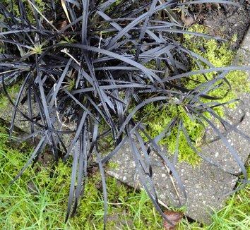 Ophiopogon planiscapus 'Nigrescens' 21