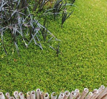 Ophiopogon planiscapus 'Nigrescens' 28