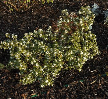Osmanthus x burkwoodii 10 flower, form