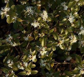 Osmanthus x burkwoodii 1 flower