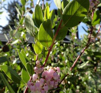 Arctostaphylos x 'Austin Griffiths' 13 flower