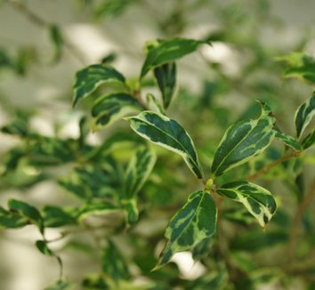 Osmanthus heterophyllus 'Kembu' 1