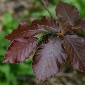 Fagus sylvatica 'Atropurpureum'