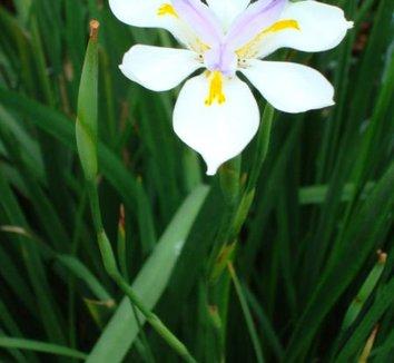 Dietes iridioides 1 flower