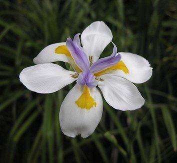 Dietes iridioides 8 flower