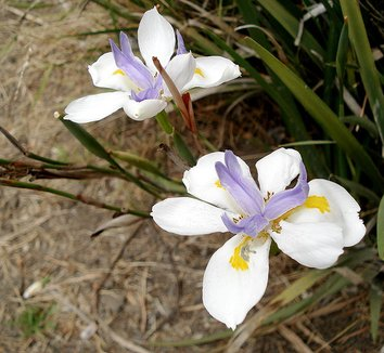 Dietes iridioides 7 flower