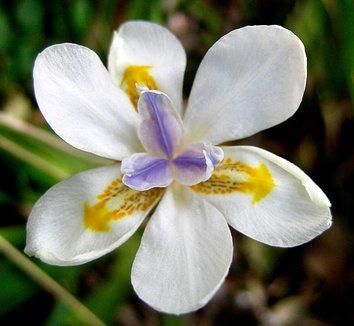 Dietes iridioides 4 flower