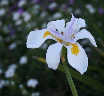 Dietes iridioides 2 flower