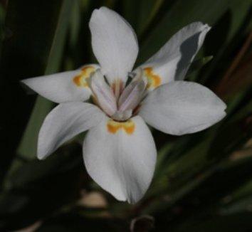 Dietes iridioides 9 flower