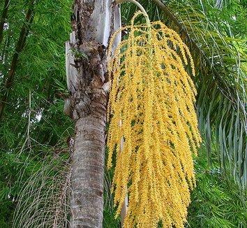 Syagrus romanzoffiana 1 flower