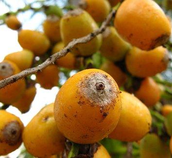 Syagrus romanzoffiana 9 fruit
