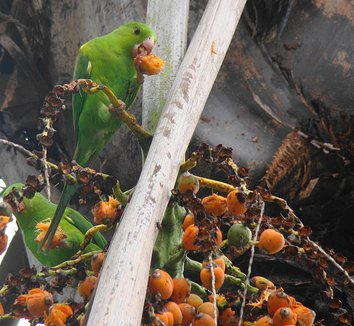 Syagrus romanzoffiana 5 fruit