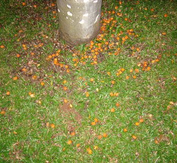 Syagrus romanzoffiana 3 fruit, trunk