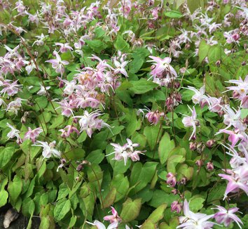 Epimedium 'Akebono' 5 flower