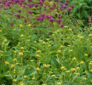 Rudbeckia fulgida 'Goldsturm' 14