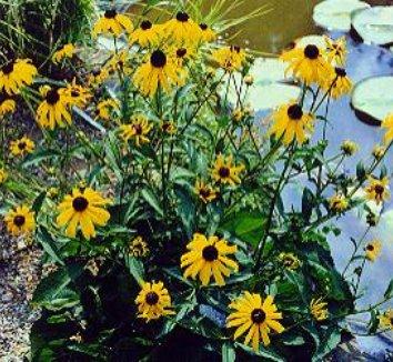 Rudbeckia fulgida 'Goldsturm' 1 flower