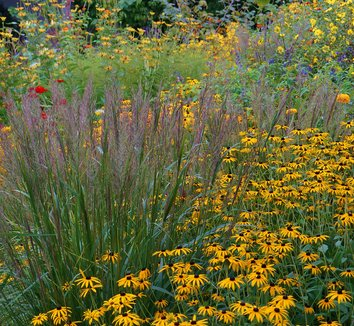 Rudbeckia fulgida 'Goldsturm' 10 flower
