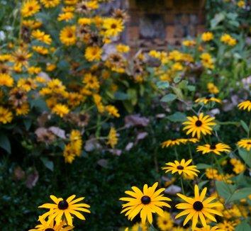 Rudbeckia fulgida 'Goldsturm' 8 flower