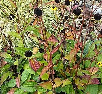 Rudbeckia fulgida 'Goldsturm' 18 seedhead