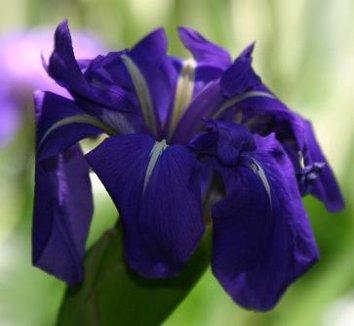 Iris laevigata albopurpurea colchesterensis 1 flower