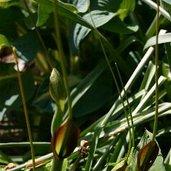 Pinellia tripartita 'Atropurpurea'