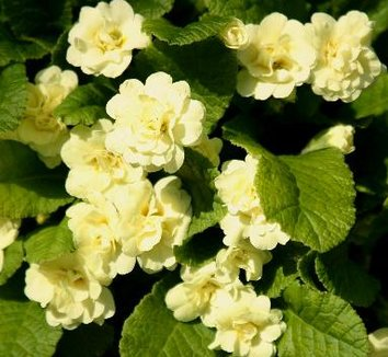 Primula 'Van Powis Castle' 1 flower