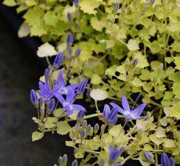 Campanula garganica 'Dickson's Gold' 10 flower