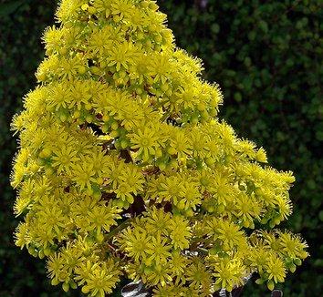Aeonium 'Zwartkop' 3 flower