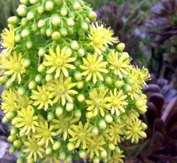 Aeonium 'Zwartkop' 19 flower