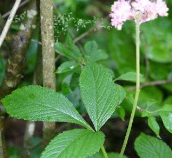 Rodgersia pinnata 12 flower