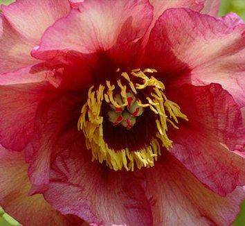 Paeonia 'Gauguin' 1 flower