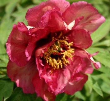 Paeonia 'Gauguin' 3 flower
