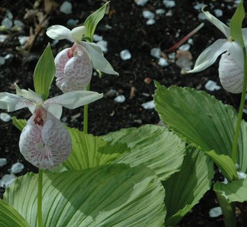 Cypripedium formosanum 4 flower