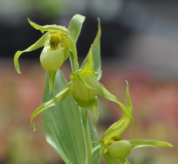 Cypripedium henryi 1 flower