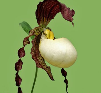 Cypripedium kentuckiense 1 flower