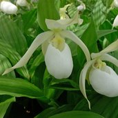 Cypripedium Birgit gx pastel-flowered
