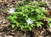 Anemone pseudoaltaica