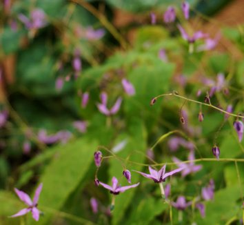 Epimedium fargesii 1 flower