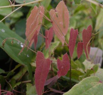 Epimedium fargesii 6 flower