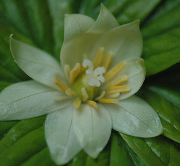 Paris japonica 1 flower